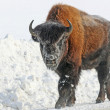 Young bison on the road — Stock Photo #40932129