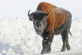 Young bison on the road — Stock Photo