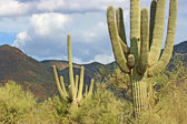 Cactus Saguaro — Stock Photo