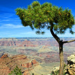 Stock Photo: Pine tree with Grand Canyon in background