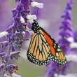Stock Photo: Monarch on lavender close up