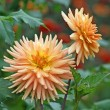 Stock Photo: Dahlias