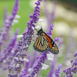 Stock Photo: Monarch butterfly on lavender