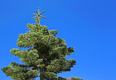 Spruce tree on blue sky — Stock fotografie