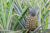 Pineapple on the bush — Stock Photo
