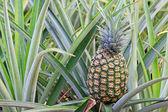 Pineapple on the bush — Stock Photo