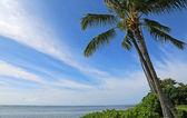 Palm tree on Maunalua Beach — Stockfoto