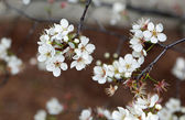 Pear tree blossom close up on brown background — Stock Photo