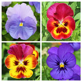 Collage with 4 pansy flowers in red and blue — Stock Photo