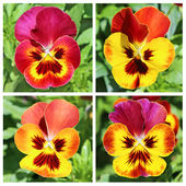 Collage with 4 pansy flowers in red and yellow — Stock Photo