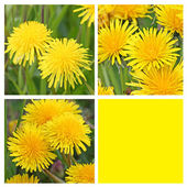 Collage with 3 teraxacum flowers and yellow empty space — Stock Photo