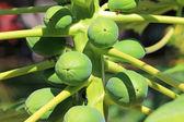 Papaya fruits — Stock Photo