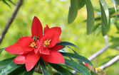 Jamaican Poinsettia (Euphorbia Punicea) — Stock Photo