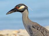 Profile of Yellow-crowned night heron — Stock Photo