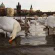 Swans about Charles Bridge, Prague, Czech Republic — Stock Photo