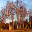 Birch forest in the rays of the setting autumn sun — Stock Photo