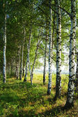 Birch grove in the morning hour, Russia — Stock Photo