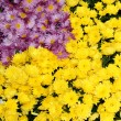 Colorful chrysanthemum flowers beautiful background — Stock Photo