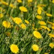 Sunny dandelions on a green field background — Stock Photo