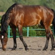Stock Photo: Beautiful brown horse in paddock