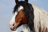 Beautiful horse coloring mixed with a curly mane — Stock Photo