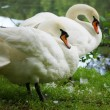 Two white swans at the lake — Stock Photo
