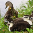 Stock Photo: Duck family of pond