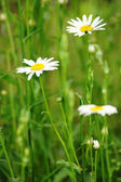 Daisies on a background of green meadows — Foto Stock