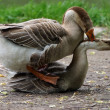 Geese in the act of mating — Stock Photo