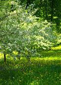 Der Kirschgarten und der Zeitpunkt der Blüte — Stockfoto
