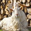Stock Photo: Goat with big horns