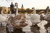 Swans on the Charles Bridge, Prague, Czech Republic — Stock Photo