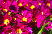 Gently beautiful flowers purple — Stock Photo