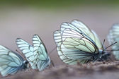Butterflies. Black-veined White (Aporia crataegi) — Stock Photo