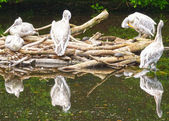 Group of pelicans in the pond — Stock Photo