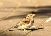 Urban sparrow — Stock Photo