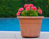 Pink flowers in terracotta pots — Stock Photo