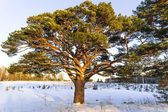 Old gnarled pine, evening — Stock Photo