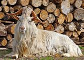 Goat with big horns — Stock Photo