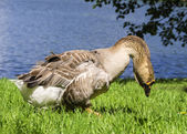 Gray goose on the waterfront — Stock Photo