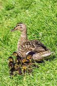 Mother duck and ducklings in the grass — Stock Photo