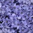 Hyacinth&#039;s background - Stock Photo