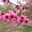 Spring peach blossom in garden — Stock Photo