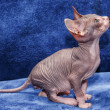 Stock Photo: Donskoy Sphynx.