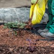 Gardener spills mulch under bush — Stock Photo