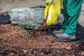 Gardener spills mulch under bush — Stock Photo