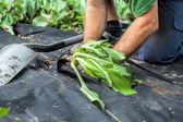 Planting seedling into barrier weed sheet — Stockfoto