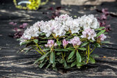 Azalea and barrier weed sheet — Stock Photo