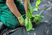 Barrier weed protects plants — Stock Photo