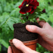 Stock Photo: Potting pansy seedling